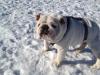 Photo bulldog anglais blanc