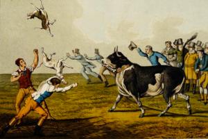 Combat entre un bouledogue anglais et un taureau
